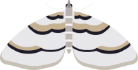 Barberry Carpet Moth graphic